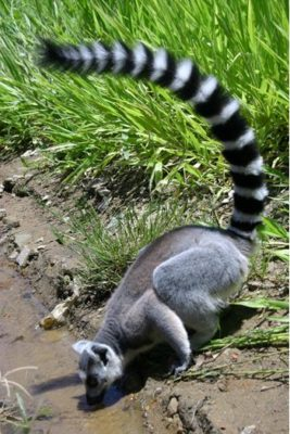 lemurien-isalo